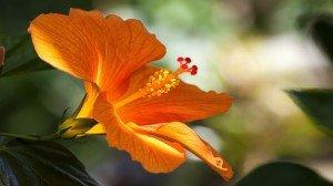Hibiscus Flower Deep Golden Orange Google+ Covers