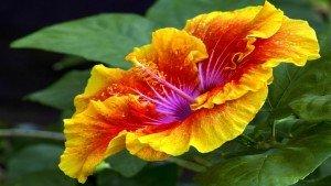 Hibiscus Flower Orange Yellow Google+ Covers
