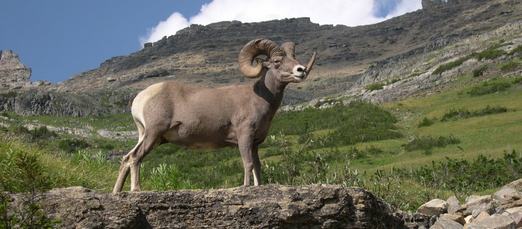 Montana Big Horn Sheep Facebook Covers