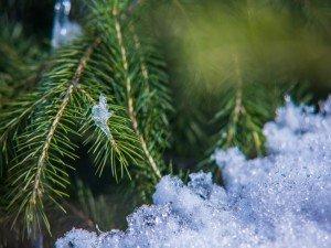 Pine Needles Snow Twitter Backgrounds