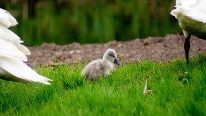 Spring-Baby-Duck-in-Grass-Google+-Covers
