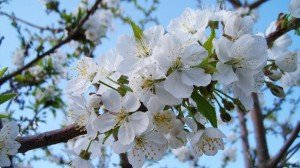 Spring Blossoms White Flowers with Buds-Google+-Covers