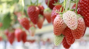 Strawberries Ripening on the Vine Google+ Covers
