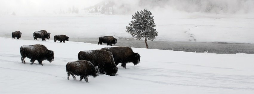 Buffalo on the Move Yellowstone National Park Facebook Covers