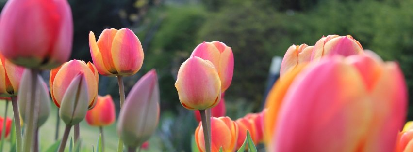 Easter Facebook Cover Tulips